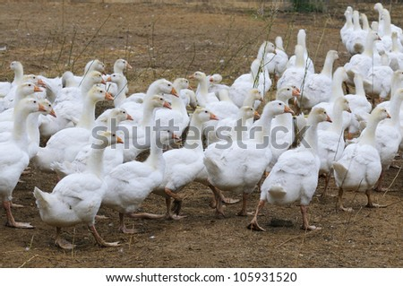white goose on rural farm