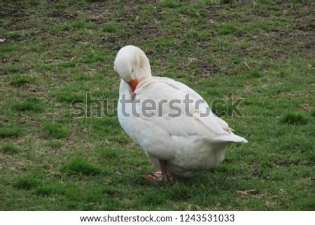 white goose picture