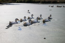 White goose. Swimming Geese. Domestic geese swim in the pond. Flock of geese on the river.