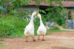 White goose walking on the green grass , play together and finding some food with copy space