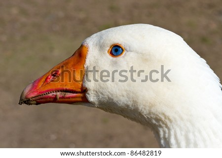 White goose with very bright blue eyes. - stock photo