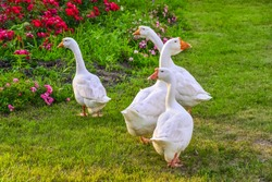 white gooses on a green grass near a flowerbed with beautiful pink flowers/domestic cattle in Russia / poultry from the village