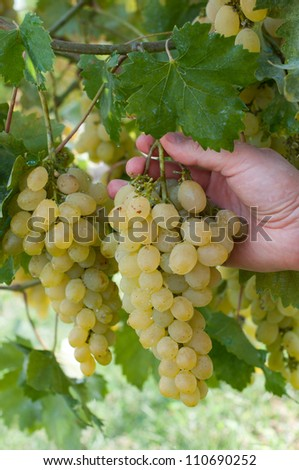 White grape in a garden and male hand