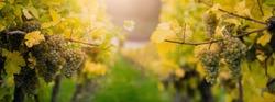 White grape leaved for making Ice wine on Wachau valley, Austria