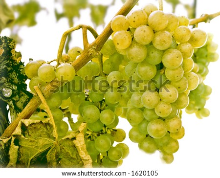 white grapes being held on vine until first hard freeze of winter for late harvest wine
