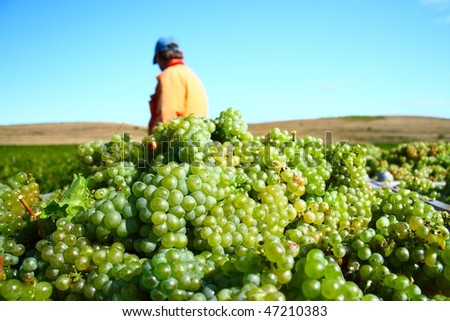 White grapes for excellent  wine