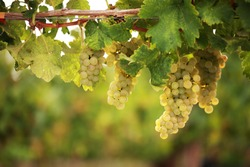 White grapes hanging from lush green vine with blurred vineyard background