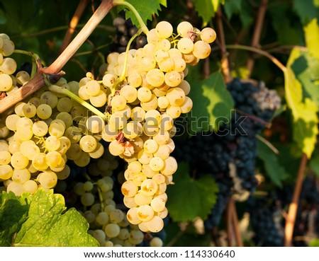 White grapes on a vine