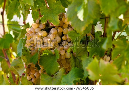White grapes ripening in the late summer sun.