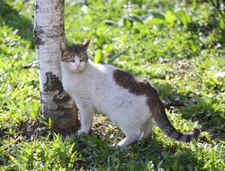 White-gray cat at the birch tree on the green grass