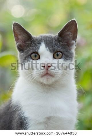 white gray cat stare