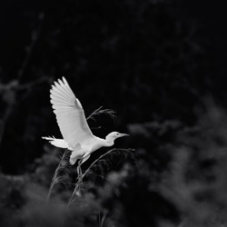 White great egret (Ardea alba). White bird with yellow beak and dark legs. Beautiful wildlife scene in nature background.selective focus. low key effect.black and white photography.