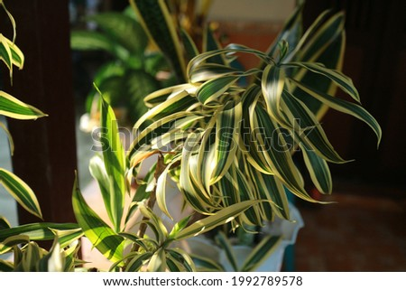 white-green leaf named spider plant in my yard
