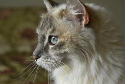 white grey cat blue eyes profile