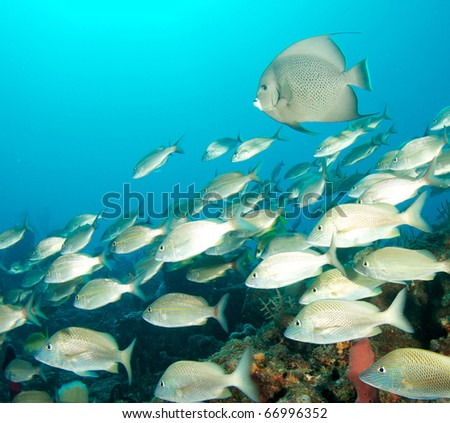 White grunts swimming over a reef, with a Gray Angelfish in the background.  Picture taken in Palm Beach County, Florida.