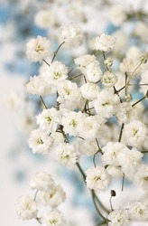 White gypsophila flowers or baby's breath flowers close up on blue background selective focus.Macro flowers texture. Poster
