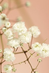 White gypsophila flowers or baby's breath flowers close up on pink background selective focus.Macro flowers texture. Poster
