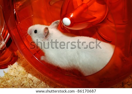 White hamster is running into the wheel