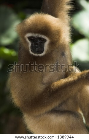 White-handed Gibbon - hylobates lar