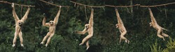 White-Handed Gibbon, hylobates lar, Adult Hanging from Liana, Movement Sequence