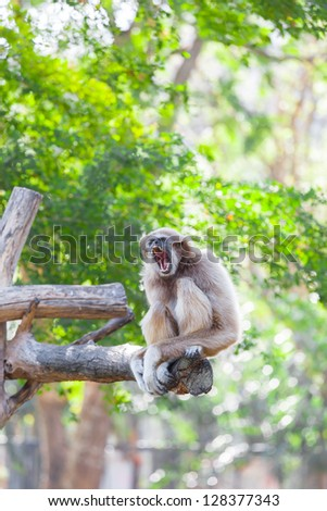 White-handed gibbon(Hylobates lar) is yawning