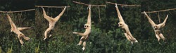 White-Handed Gibbon, hylobates lar, Moving, hanging from Liana, Movement Sequence