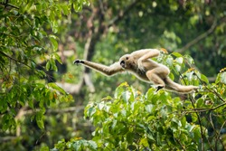 White-handed gibbon is jumping in the forest. Animal in the wild