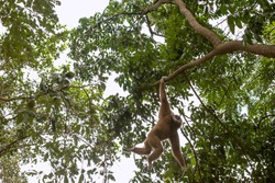 white-handed gibbon (lar gibbon) in the wild life : portraits and on the trees