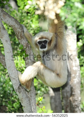 white handed Gibbon or Lar Gibbon in tree looking at camera, thailand - stock photo