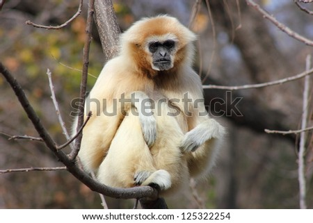 White handed gibbon sitting on a branch looking at camera