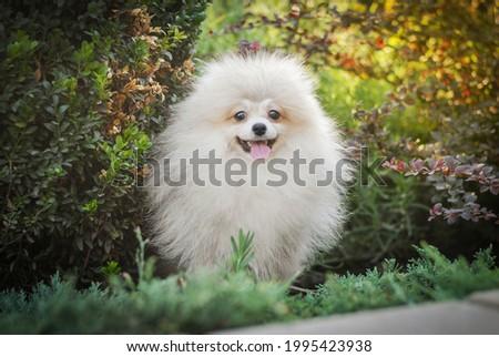 white handsome klein spitz walks in the park  Stock foto ©