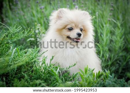 white handsome klein spitz walks in the park  Stockfoto ©