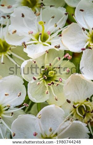White hawthorn flowers, close up, macro. Crataegus monogyna blooms.  Single-seeded hawthorn blossoms ( may, mayblossom, maythorn, quickthorn, whitethorn, motherdie, haw ) Stock photo ©