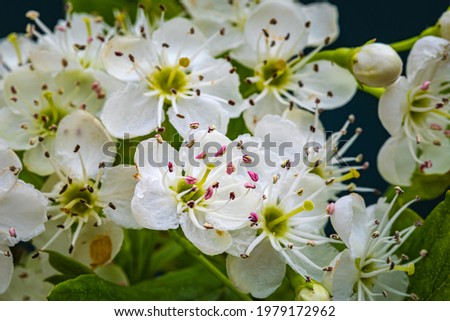 White hawthorn flowers in spring, close up, macro. Crataegus monogyna blossoms.  Single-seeded hawthorn bloom ( may, mayblossom, maythorn, quickthorn, whitethorn, motherdie, haw ) Stock photo ©