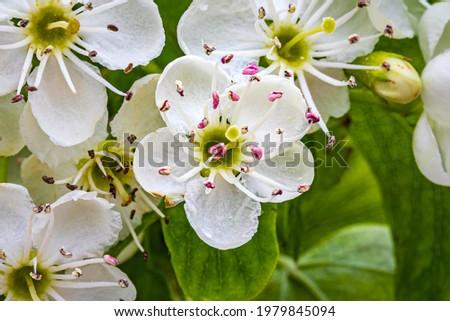 White hawthorn flowers in spring, closeup, macro. Crataegus monogyna blossoms. Single-seeded hawthorn bloom ( may, mayblossom, maythorn, quickthorn, whitethorn, motherdie, haw ) blossom Stock photo ©