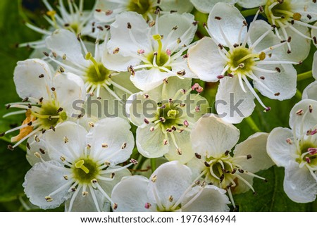 White hawthorn flowers in spring garden, close up, macro. Single-seeded hawthorn bloom ( may, mayblossom, maythorn, quickthorn, whitethorn, motherdie, haw ). Crataegus monogyna blossoms Stock photo ©
