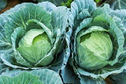 white head cabbages