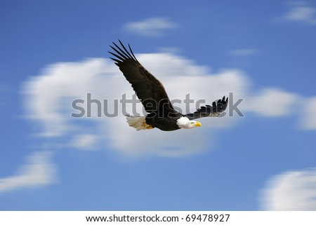 White head eagle flying. Fast bird over the sky