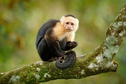 White-headed Capuchin, black monkey sitting on tree branch in the dark tropical forest. Wildlife of Costa Rica. Travel holiday in Central America.