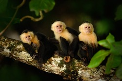 White-headed Capuchin, Cebus capucinus, black monkeys sitting on the tree branch in the dark tropical forest, animals in the nature habitat, wildlife of Costa Rica.