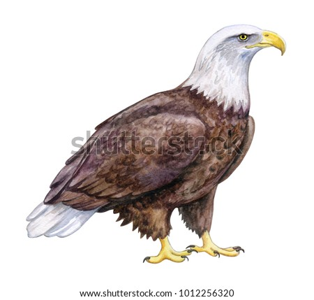 Stock Photo White-headed Eagle, Bald Eagle sitting. Isolated on white background. Illustration. Watercolor. Template Clip art.