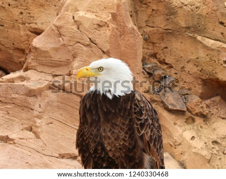 White Headed Eagle or Bald Eagle (Haliaeetus leucocephalus) is america Bird of prey or Raptor - bald eagle was adopted as the national bird symbol of the United States of America