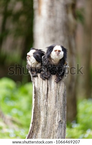 white-headed marmoset (Callithrix geoffroyi), also known as the tufted-ear marmoset, Geoffroy's marmoset, or Geoffrey's marmoset