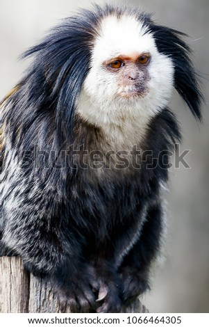 white-headed marmoset , marmoset endemic to Brazil. It is known as the sagüi or sauim in Brazil, Callithrix geoffroyi