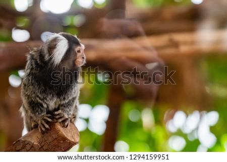 White headed marmoset monkey