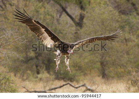 White Headed Vulture (Trigonoceps occipitalis) in South Africa