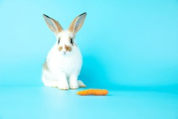 White healthy lovely bunny easter rabbit with carrot on blue background. Cute fluffy rabbit sniffing, looking around, Lovely mammal with beautiful bright eyes in nature life. Symbol of easter day.