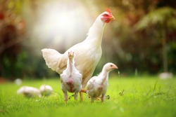 White hen and chickens in nature , free range, antibiotic and hormone free farming.