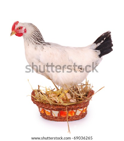 White hen in basket with eggs, isolated on white.