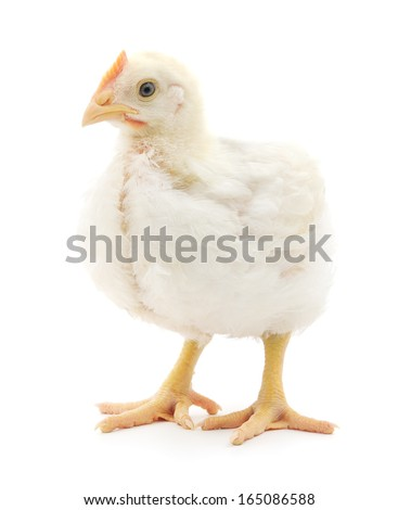 white hen isolated on white studio shot